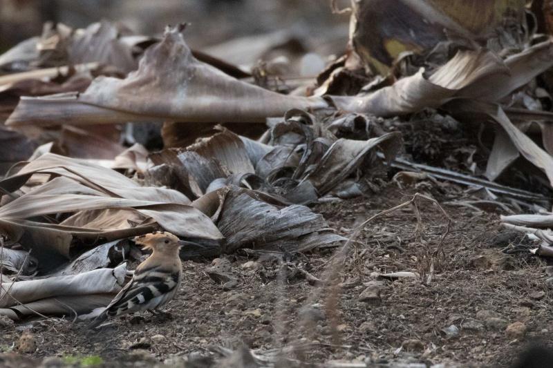 Oiseaux de Ténérife (maj février 2017) Huppe-10