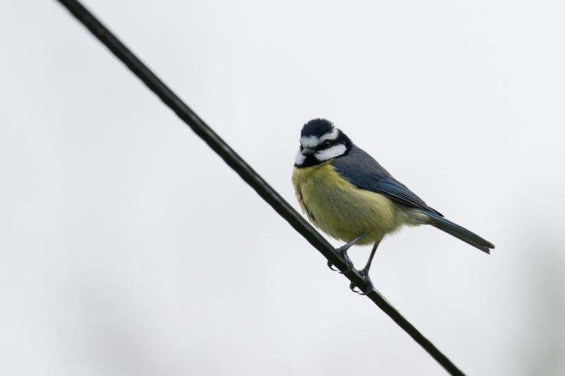 Oiseaux de Ténérife (maj février 2017) Mesang10