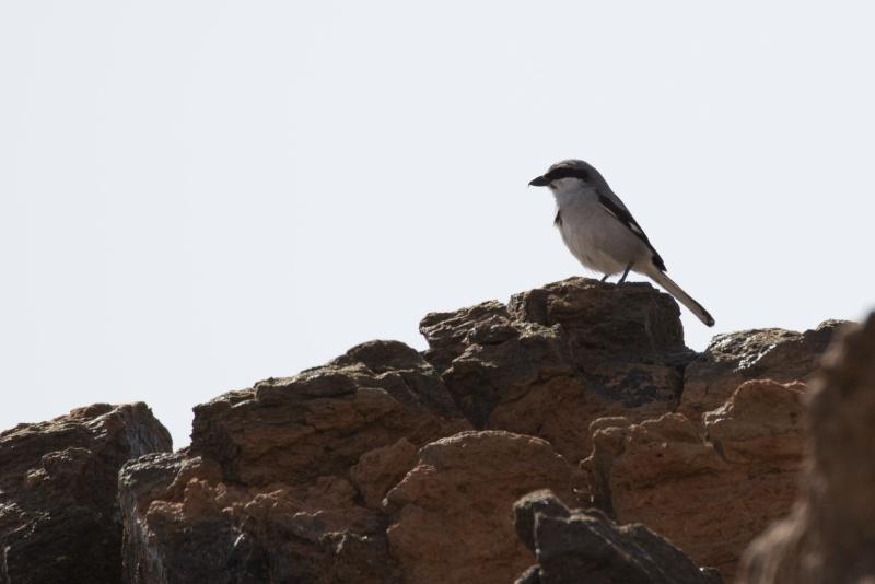 Oiseaux de Ténérife (maj février 2017) Pie_gr10