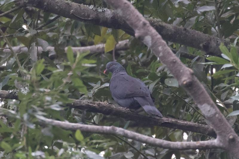 Oiseaux de Ténérife (maj février 2017) Pigeon10