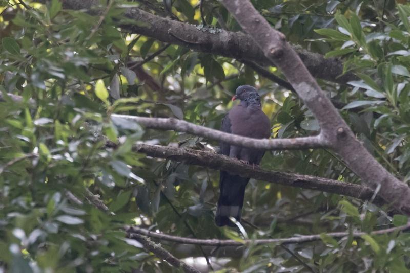 Oiseaux de Ténérife (maj février 2017) Pigeon11