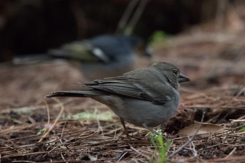 Oiseaux de Ténérife (maj février 2017) Pinson11