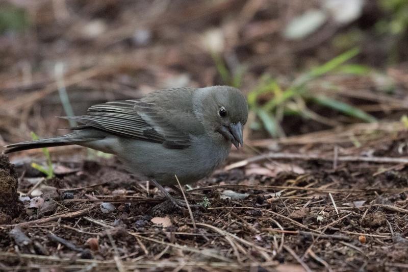Oiseaux de Ténérife (maj février 2017) Pinson13