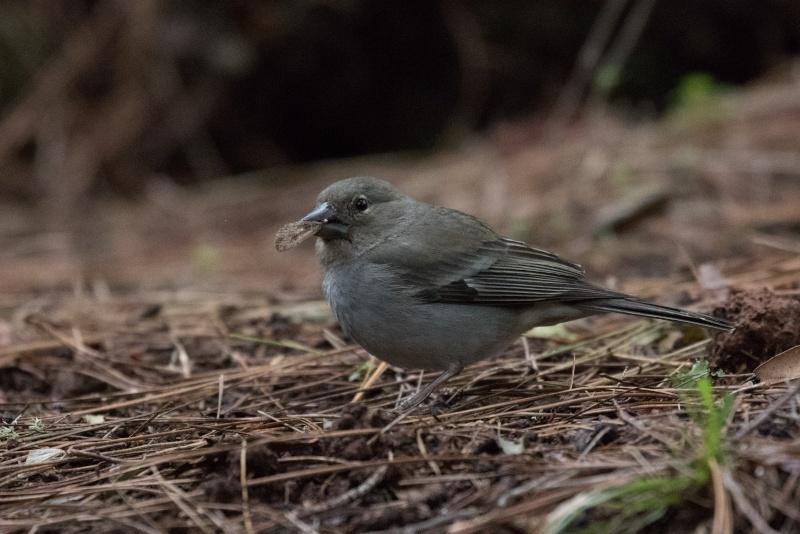 Oiseaux de Ténérife (maj février 2017) Pinson14