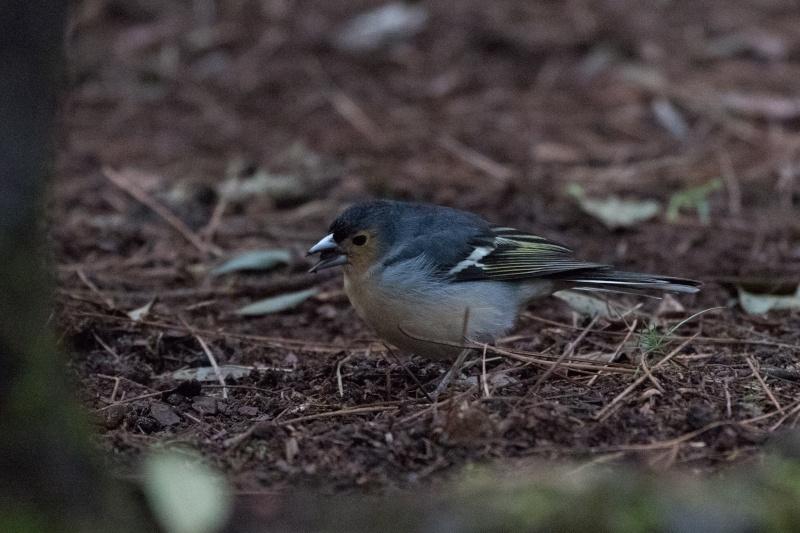 Oiseaux de Ténérife (maj février 2017) Pinson16