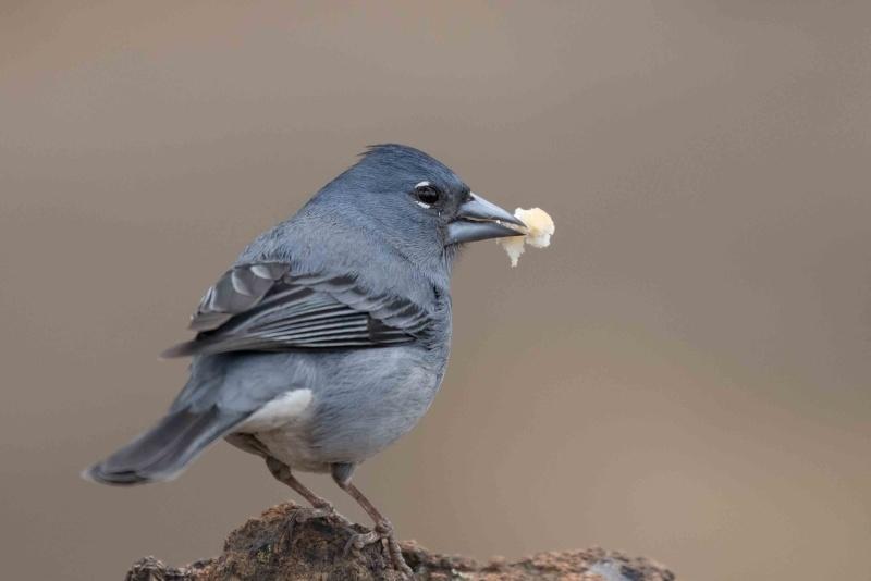 Oiseaux de Ténérife (maj février 2017) Pinson17