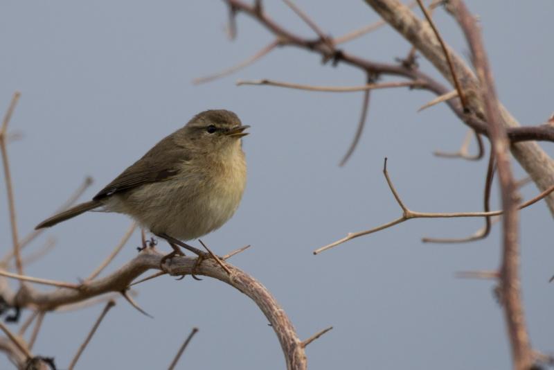 Oiseaux de Ténérife (maj février 2017) Pouill10