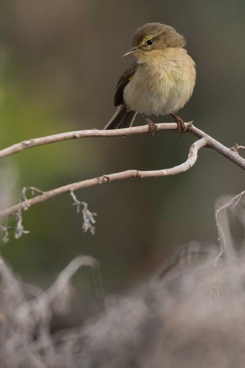 Oiseaux de Ténérife (maj février 2017) Pouill13