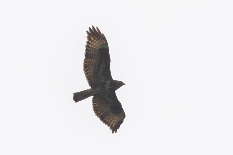 Oiseaux de Ténérife (maj février 2017) Rapace10