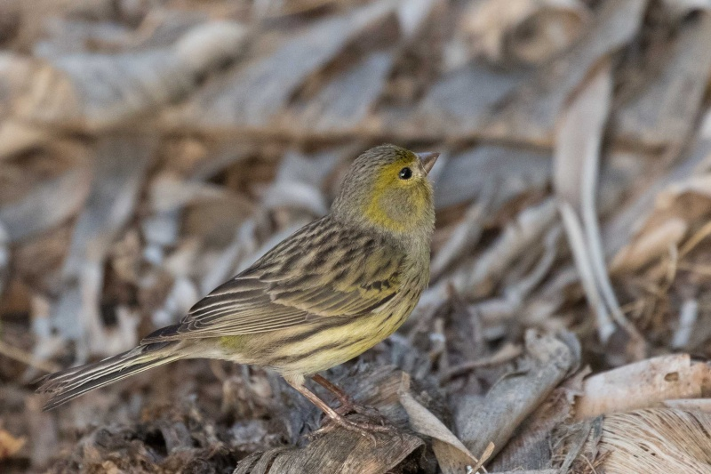 Oiseaux de Ténérife (maj février 2017) Serin-13