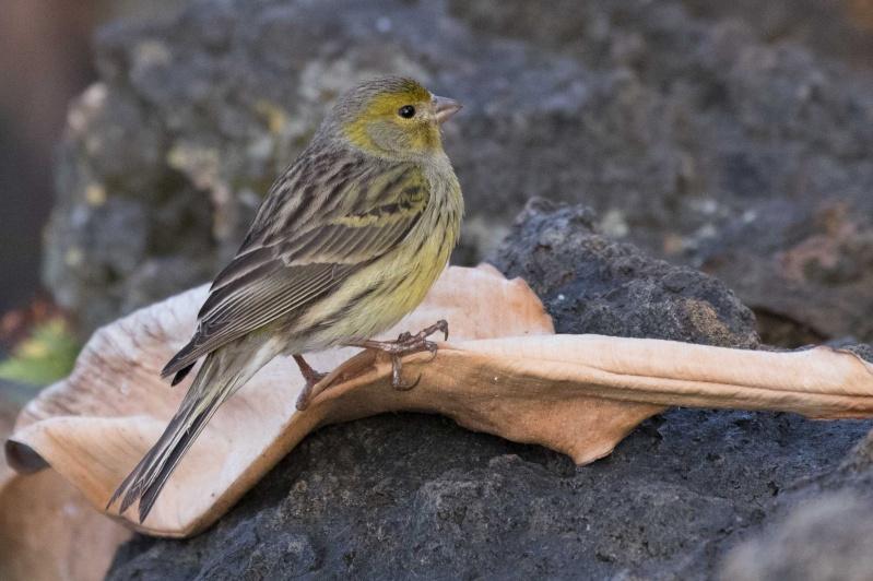 Oiseaux de Ténérife (maj février 2017) Serin-14