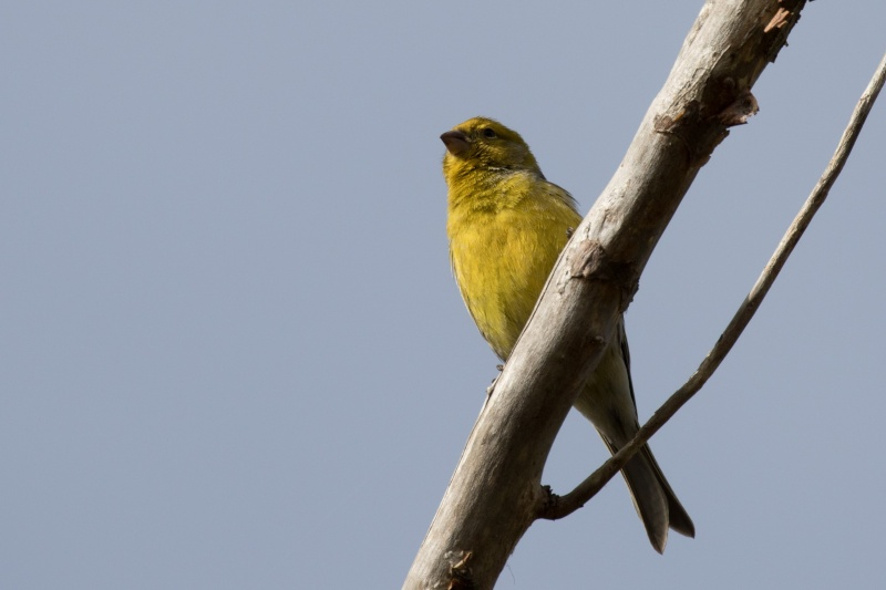 Oiseaux de Ténérife (maj février 2017) Serin_10