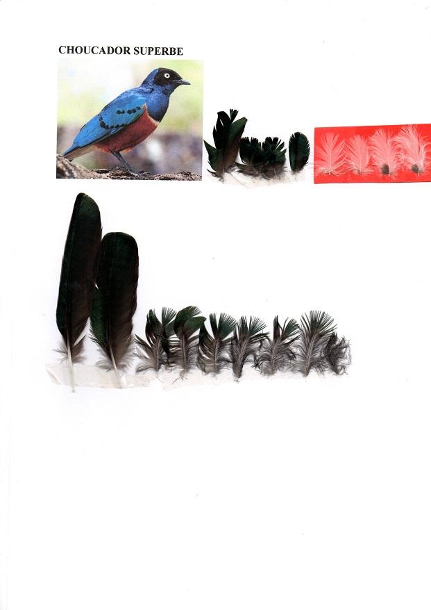 Choucador superbe Img16410