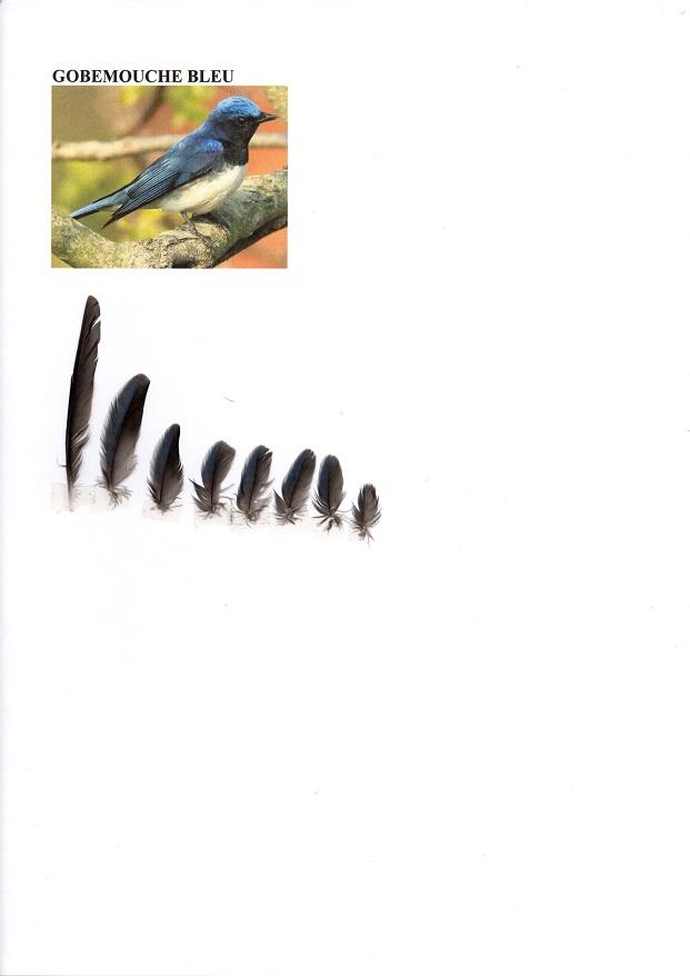 Gobemouche bleu Img16510