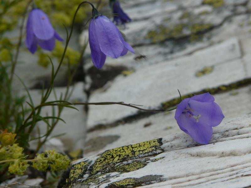 La flore en Haute Tarentaise - Page 2 Vacanc35