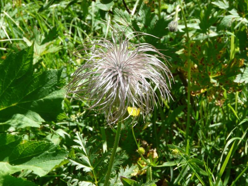 La flore en Haute Tarentaise - Page 2 Vacanc36