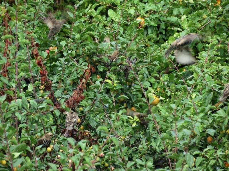 Etourneau sansonnet - Sturnus vulgaris Z0210