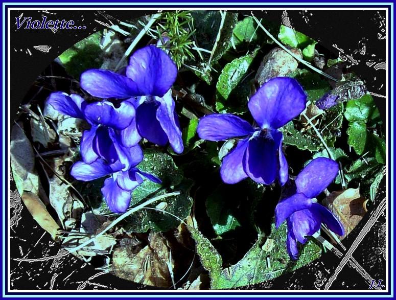 le printemps s'en vient V_iole11