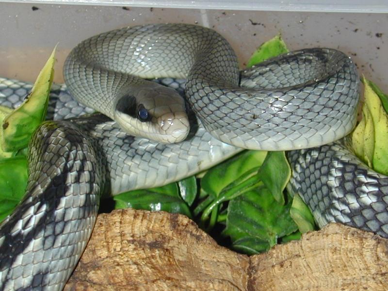 Les Serpent comment les reconnaître ?  Dscn0034
