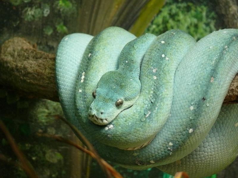 Les 3 viridis du zoo de Steve Irwin ! Bleu211