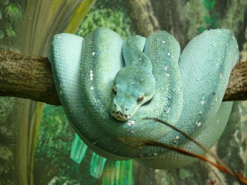 Les 3 viridis du zoo de Steve Irwin ! Bleu311