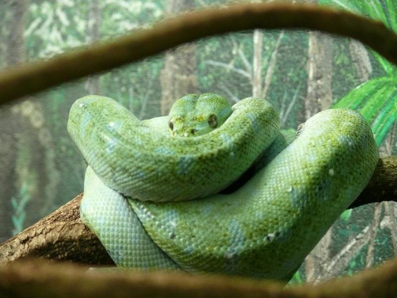 Les 3 viridis du zoo de Steve Irwin ! Dernie10