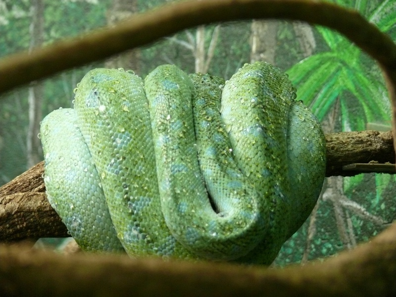 Les 3 viridis du zoo de Steve Irwin ! Dernie11