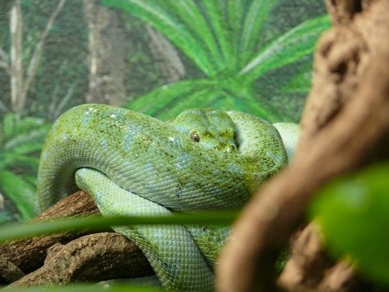 Les 3 viridis du zoo de Steve Irwin ! Dernie12