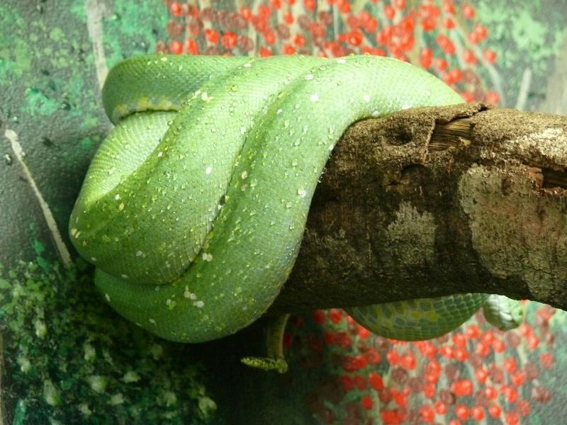 Les 3 viridis du zoo de Steve Irwin ! Jaune111
