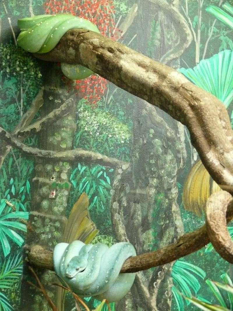 Les 3 viridis du zoo de Steve Irwin ! Jaune_11