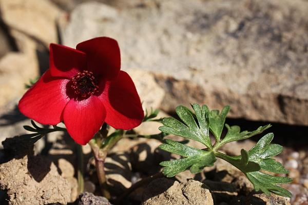 Anemone biflora Eos5dm12