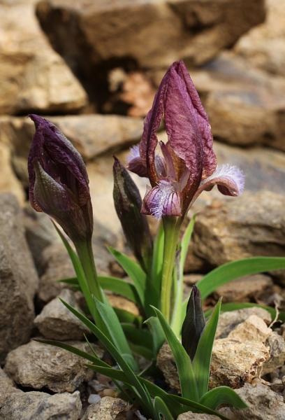 Le 1er iris barbu en fleur Eos5dm24