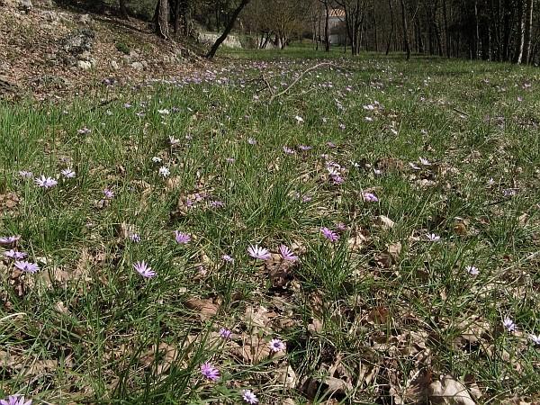 Anemone hortensis Img_7710