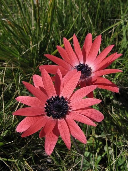 Anemone hortensis Img_7712