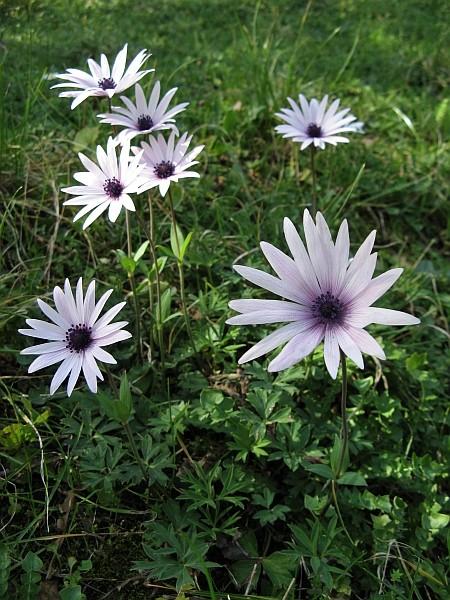 Anemone hortensis Img_7713