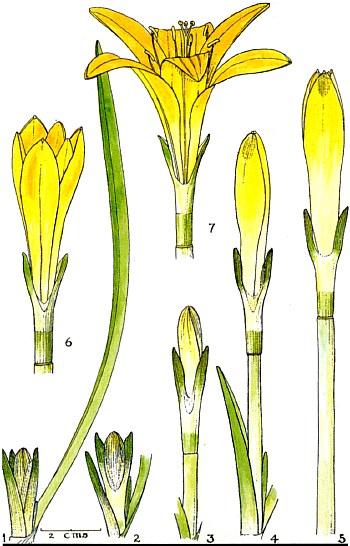 Pyrolirion tubiflorum var. aureum Pyroli10
