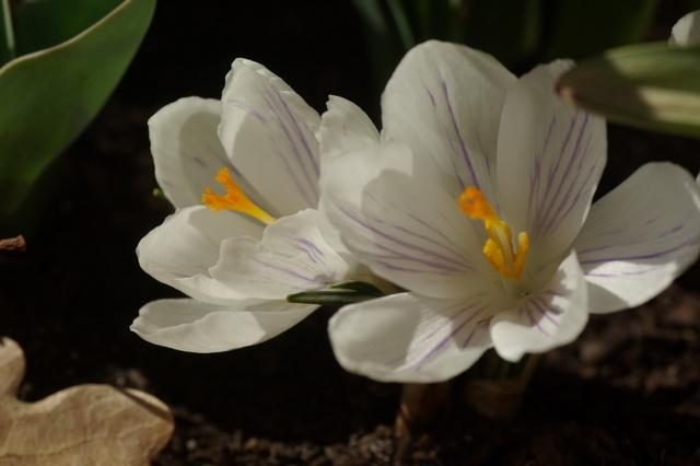 Floraisons de février - Page 14 Imgp7010