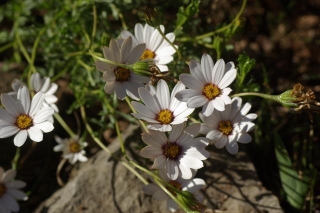 Floraisons de février - Page 14 Imgp7014