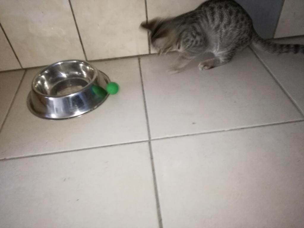 Ounas, mâle grey tabby, né juillet 2018. Img_2048