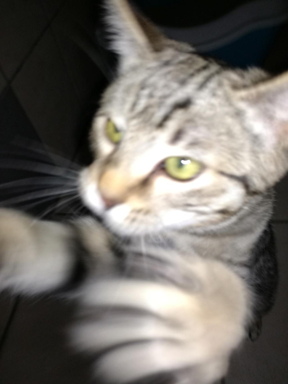 Ounas, mâle grey tabby, né juillet 2018. Img_2063
