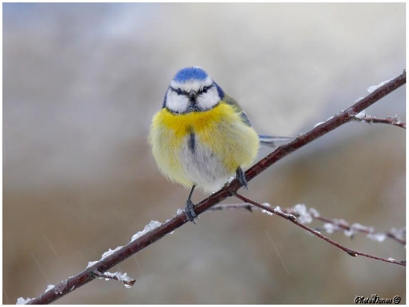 Les oiseaux chantent - Page 2 P_tite11
