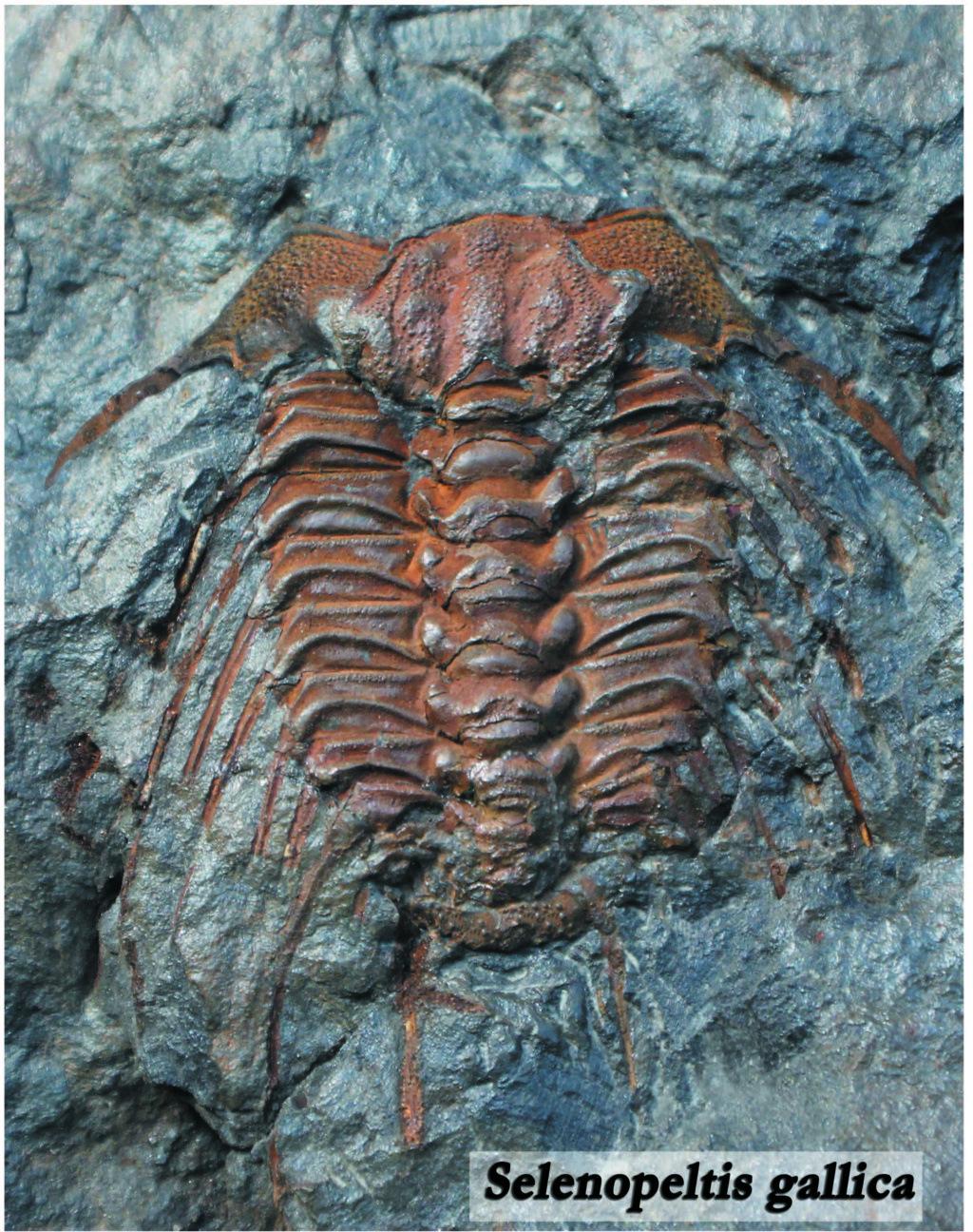 SEGUNDA EDICIÓN -  Guía de Trilobites del Ordovícico Medio de Castilla-La Mancha y Extremadura Fondos13