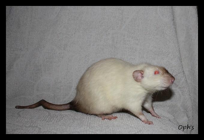morphologie des rats dumbo Img_3942