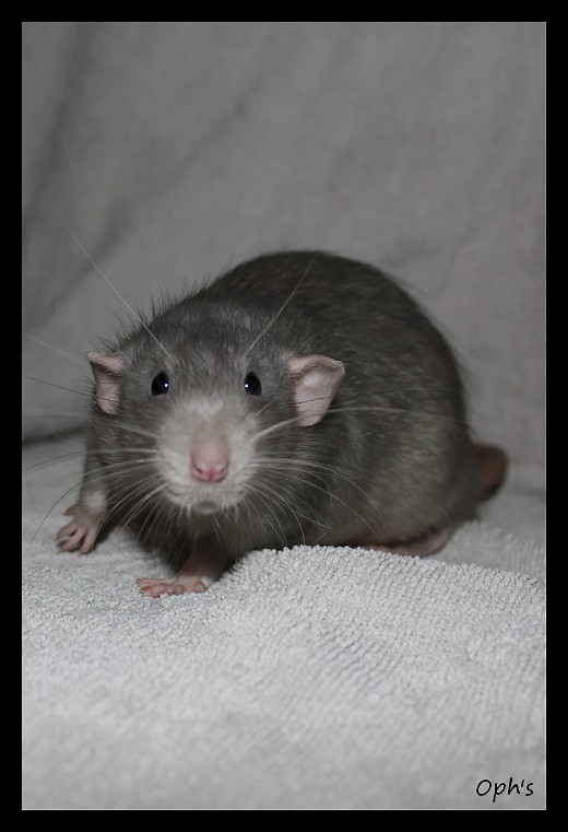 morphologie des rats dumbo Img_3946