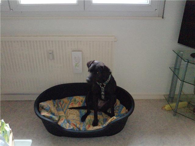 Chienne labrador a adopter Getatt15