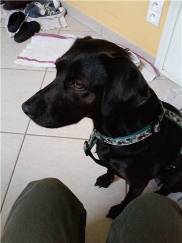 Chienne labrador a adopter Getatt16