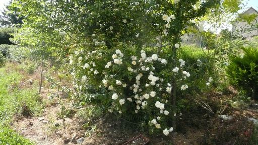Mon rosier liane envahi mon bouleau P1010611
