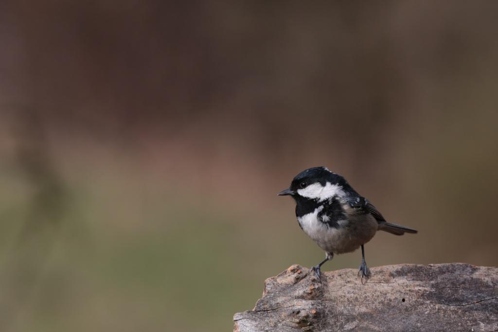 Oiseaux de nos forêts... 01510