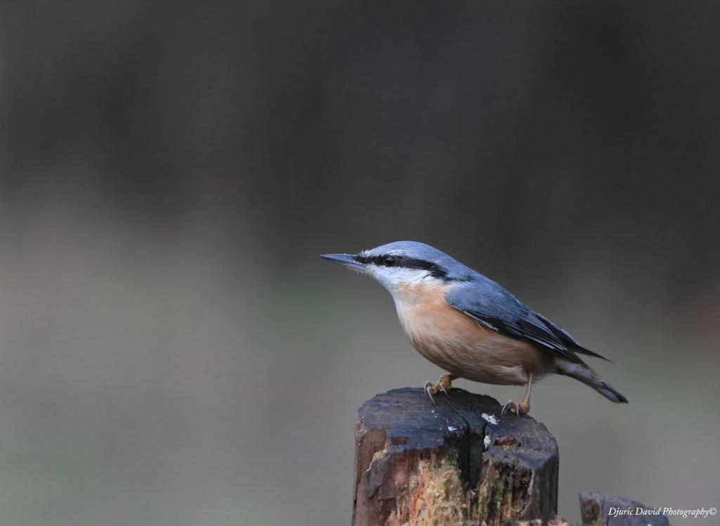 Oiseaux de nos forêts... 06010