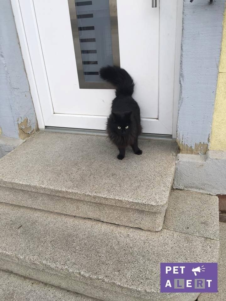Un chat noir errant à Brumath (67) Perdu10